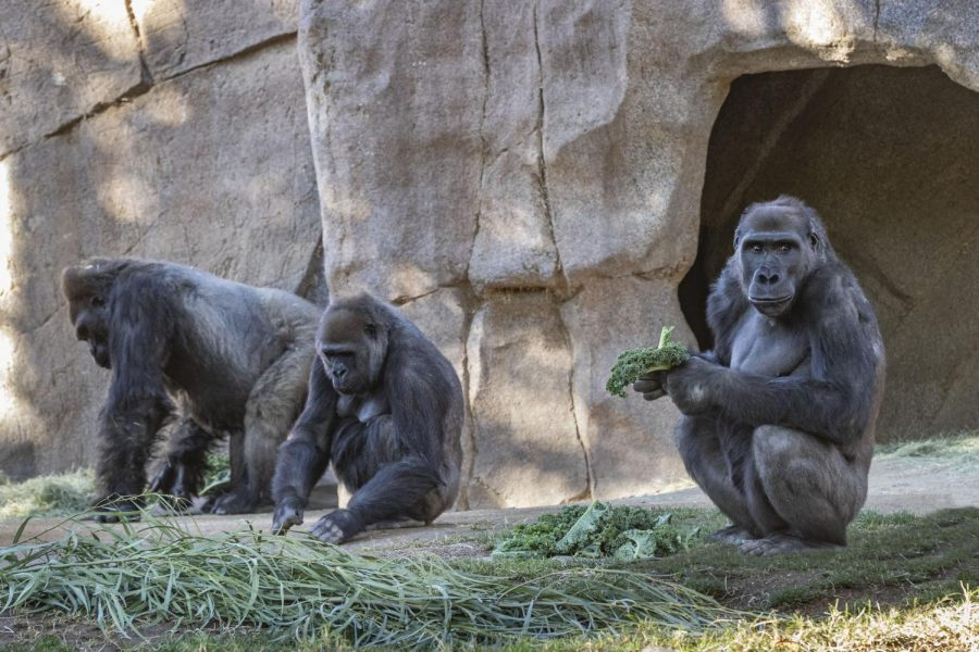 Gorillas at San Diego Zoo test positive for COVID-19.