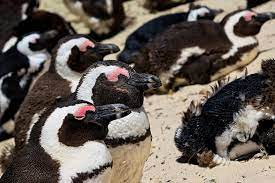 Endangered Penguins Slaughtered by Bees